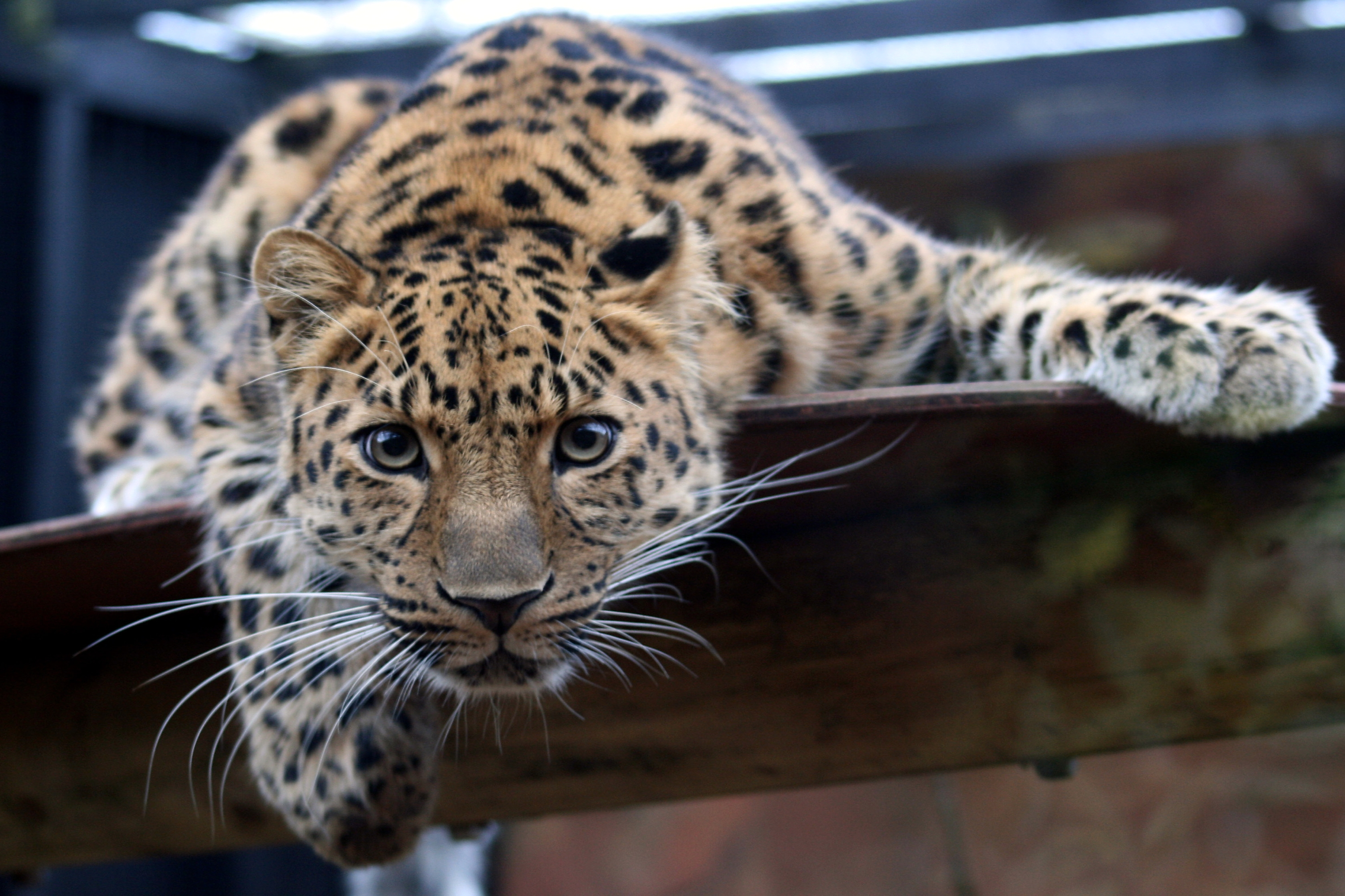 Leopard_in_the_Colchester_Zoo.jpg